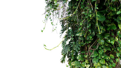 Wall Mural - Split-leaf philodendron Monstera and variegated leaves Devil's ivy pothos liana plants climbing on tree trunk, tropical forest plant jungle vines bush isolated on white background with clipping path.