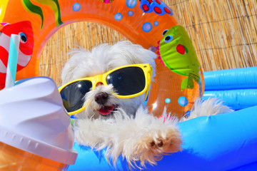 funny puppy dog with sunglasses in the pool