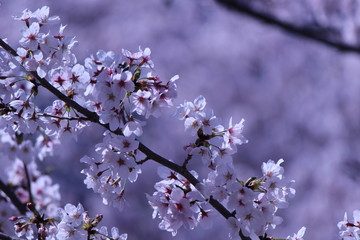 Deurstickers Kersenbloesem Japanese national flower cherry blossom