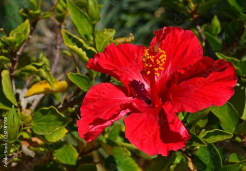 Beautiful Red Hibiscus Flowers China Rosegudhalchabashoe Flower
