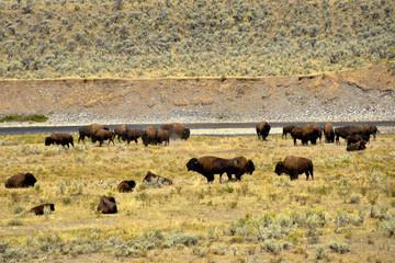 Buffalo at Yellowstone National Park.