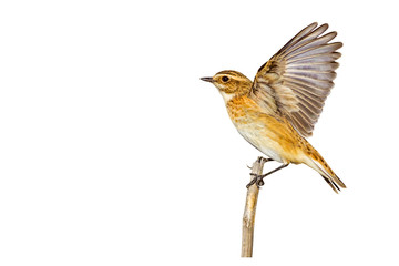 Cute little bird. Isolated bird and branch. White background. Bird: Whinchat. Saxicola rubetra. Wall mural
