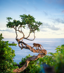 Foto op Textielframe Aap Monkey on the tree. Animals in the wild. Landscape during sunset. Kelingking beach, Nusa Penida, Bali, Indonesia. Travel - image