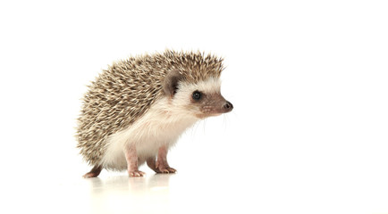 An adorable African white- bellied hedgehog standing on white background Wall mural