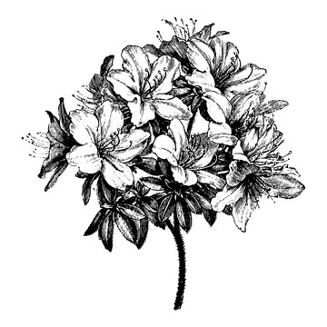 Engraving Azalea Flower Vintage Illustrations