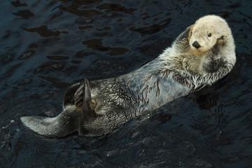Fototapete - Sea otter (Enhydra lutris)