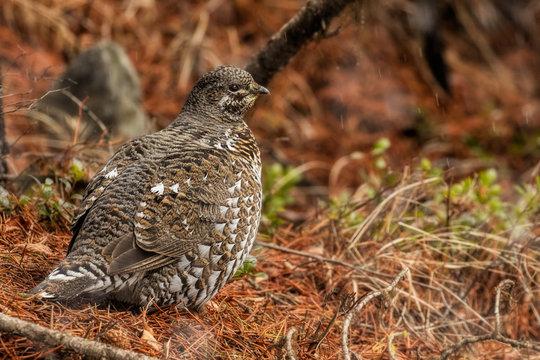 Female Spruce Grouse-Montana