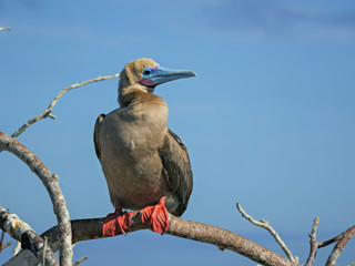 red-footed booby perched on a branch at isla genovesa