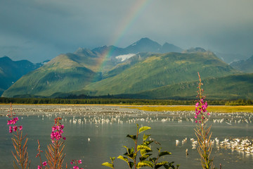 Rainbow over lake with seagulls and fireweed in Valdez, Alaska