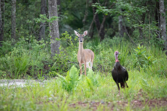 Deer and Turkey on Forest Edge