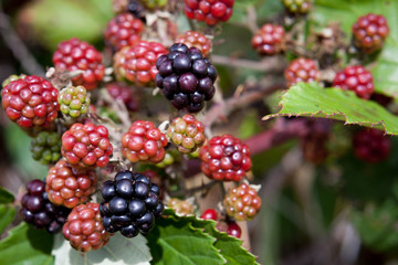 Fototapete - Wild blackberries growing along the sides of the road are sweet and juicy and make excellent eating.