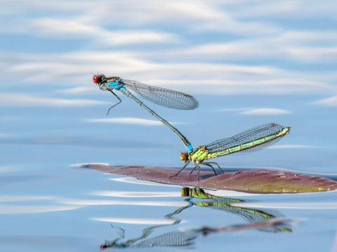 Mating pair of blue and yellow Red-eyed Damselfly or Erythromma najas