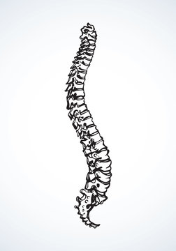 Spine. Vector drawing