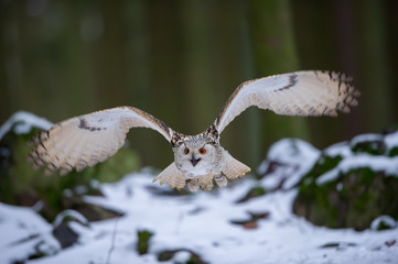 Wall Mural - Flying western siberian eagle owl in the forest