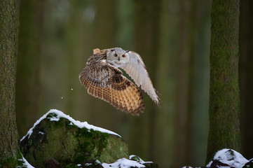 Fototapete - Flying western siberian eagle owl in the forest with beautiful wing composition
