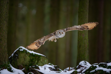 Fototapete - Hunting western siberian eagle owl in the forest