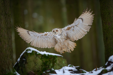 Fototapete - Flying and landing western siberian eagle owl in the forest
