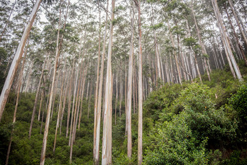 Big trees in the mountain forest in Sri Lanka. Exuberant nature and large forests in the mountains on the island in the Indian Ocean.