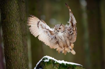 Wall Mural - Landing western siberian eagle owl on snowy rock