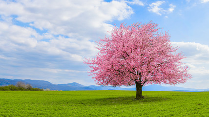 Lonely Japanese cherry sakura with pink flowers in spring time on green meadow.  Blossoming cherry sakura tree on a green field with a blue sky and clouds.