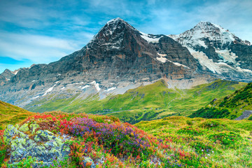 Wall Mural - Beautiful alpine flowers and high snowy mountains near Grindelwald, Switzerland