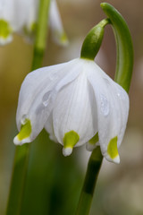 Beautiful closeup of a spring snowflake (Leucojum vernum)