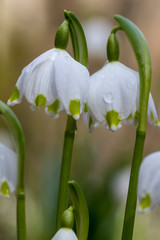 Beautiful closeup of spring snowflakes (Leucojum vernum)