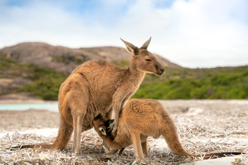 Kangaroo family at Lucky Bay in the Cape Le Grand National Park near Esperance