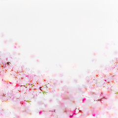 Wall Mural - Close up of cherry blossom with little bumblebee in bloom. Pink spring blossom on white. Springtime floral background border.