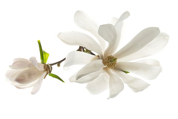 Photo sur Plexiglas Magnolia White flowers star magnolia (magnolia stellata) isolated on white background. White Magnolia flowers are isolated on a white background.