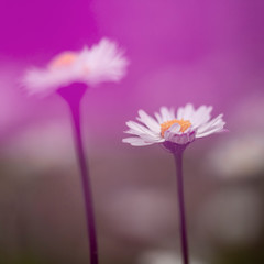 Dreamy daisies, defocussed blurry romantic effect. Natural spring background.