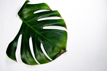 Monstera Liana. Big green leaf on a white background. Macro. Plant