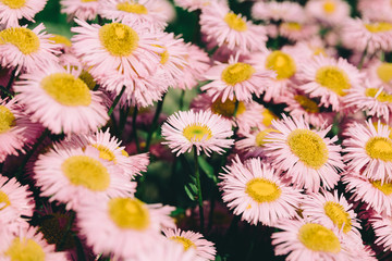 Closeup of blooming chamomile in garden, summer background