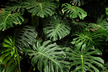 tropical monstera leaf texture, foliage nature green background.