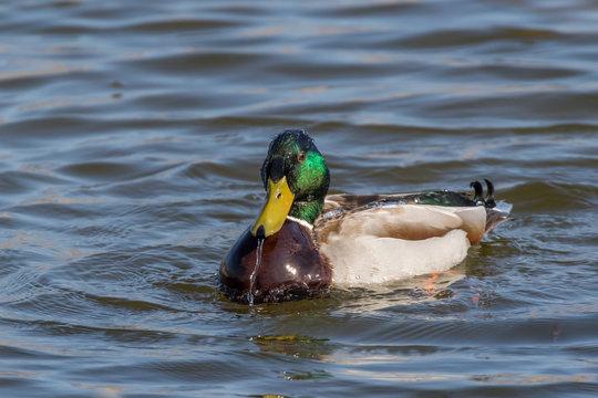 male mallard duck (anas platyrhynchos) bathing