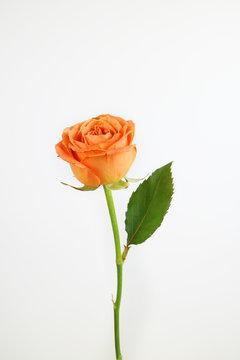 아름다운 봄 꽃, 리빙코랄 컬러 카네이션,안개꽃,장미