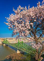Beautiful Liberty Bridge with almond blossom in Budapest, Hungary