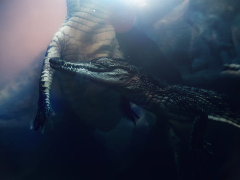Several crocodiles swim underwater in rays of light, amphibian reptiles close-up as wild life nature background