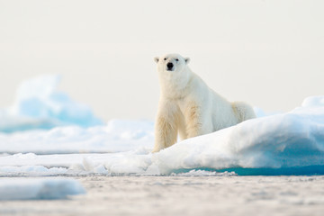 Polar bear on drift ice edge with snow and water in Norway sea. White animal in the nature habitat, Svalbard, Europe. Wildlife scene from nature.