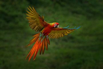 Red hybrid parrot in forest. Macaw parrot flying in dark green vegetation. Rare form Ara macao x Ara ambigua, in tropical forest, Costa Rica. Wildlife scene from tropical nature. Bird in fly, jungle.
