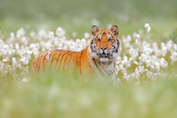 Siberian tiger in nature forest habitat, foggy morning. Amur tiger hunting in green white cotton  grass. Dangerous animal, taiga, Russia. Big cat sitting in environment.  Wild cat in wildlife nature.