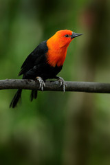 Scarlet-headed Blackbird, Amblyramphus holosericeus, black bird with orange red head in the tropic jungle forest. Blackbird sitting on the tree with green forest background, Argentina, South America.