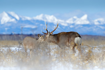 Sika deer, Cervus nippon yesoensis, on the snowy meadow, winter mountains and forest in the background, animal with antlers in the nature habitat, winter scene from Hokkaido, Japan. Wildlife nature.