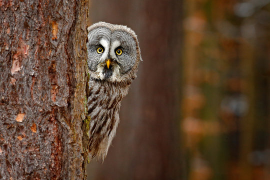 Portrait of Great grey owl, Strix nebulosa, hidden behind tree trunk in the winter forest, with yellow eyes. Wildlife scene from wild nature. Funny image with owl.
