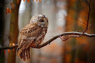 Wall Mural - Autum wildlife in the forrest. Tawny owl hidden in the fall wood, sitting on tree trunk in the dark forest habitat. Beautiful animal in nature. Bird in the Germany forest. Orange leaves with bird.