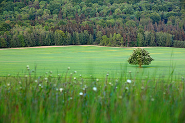 Solitary chestnut tree, with white bloom, on the meadow, with dark forest in background. Landscape from Czech nature. String time, tree with white boom on green meadow, hill Ruzovy vrch, Czech