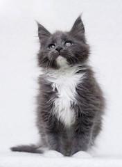 Fototapete - Maine Coon kitten watching