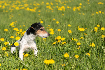 Jack Russell Terrier dog 8 years old sitting in a green spring meadow