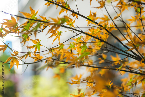 Tree with yellowing leaves  Walk around the city of Tbilisi