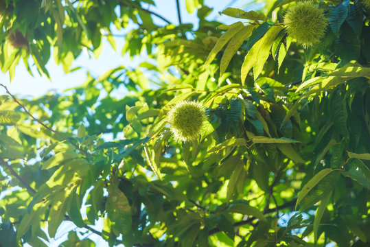Green tree with prickly chestnut fruits. Rest in Georgia. Vegetation in the city of Batumi. Chestnut tree.